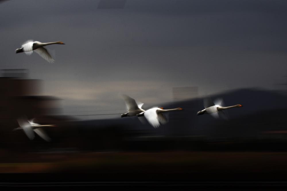 氷見市十二町潟の白鳥をSSスローで