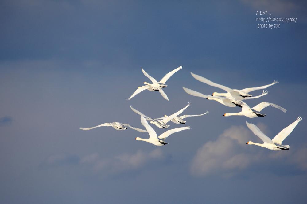 野中の白鳥