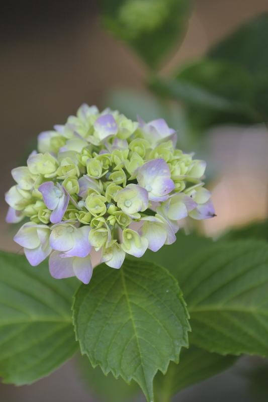 太閤山ランドの紫陽花
